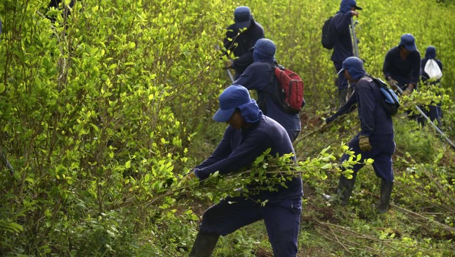 El presidente Juan Manuel Santos propone que se busque una solución para la erradicación de las 48.000 hectáreas de cultivos ilícitos. Entre ellas la erradicación manual de las plantas, como lo hace este grupo de personas en el municipio de Yalí, al noreste del departamento de Antioquia. (Crédito: RAUL ARBOLEDA/AFP/Getty Images)