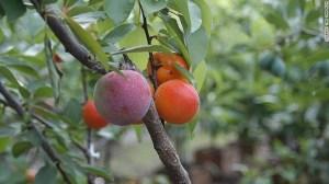 Van Aken ha trabajado con más de 250 variedades frutales en este proyecto.