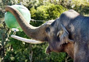 """""""Heman"""", un elefante asiático de 47 años juega con su bola de 35 kilogramos en el zoológico de Sidney. (Crédito: GREG WOOD/AFP/Getty Images)"""