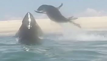 Foca escapa ataque tiburón blanco
