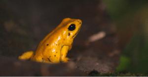 Phyllobates terribili o rana dorada venenosa. (Crédito: www.magiasalvaje.org)