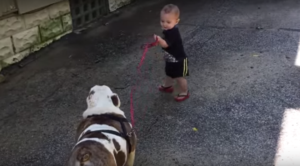Bebé vs. Bulldog intenta pasear perro video