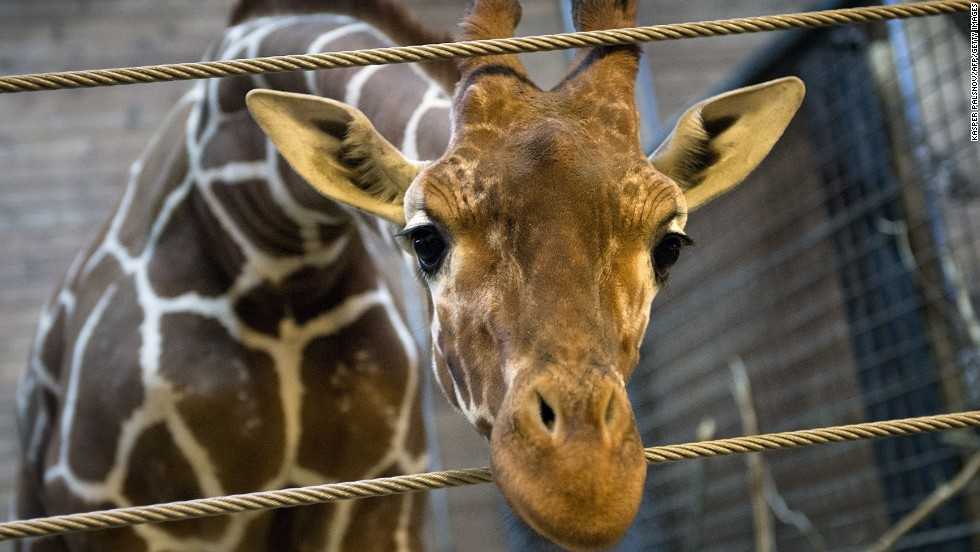 (FILES) - Picture taken on Febuary 7, 2014 shows a perfectly healthy young giraffe named Marius who was shot dead and autopsied in the presence of visitors to the gardens at Copenhagen zoo on Febuary 9, 2014 despite an online petition to save it signed by thousands of animal lovers. Marius, an 18-month-old giraffe, was put down with a bolt gun early on Sunday, zoo spokesman Tobias Stenbaek Bro confirmed. AFP PHOTO / SCANPIX DENMARK / KASPER PALSNOV +++ DENMARK OUT +++KELD NAVNTOFT/AFP/Getty Images