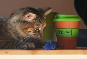 Los gatos domésticos no están incluidos en el plan. (Crédito:Scott Barbour/Getty Images)
