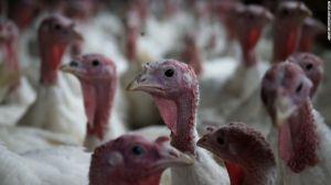 141125101726-turkeys-horizontal-large-gallery