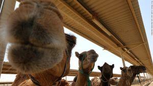 Camellos de leche de camello