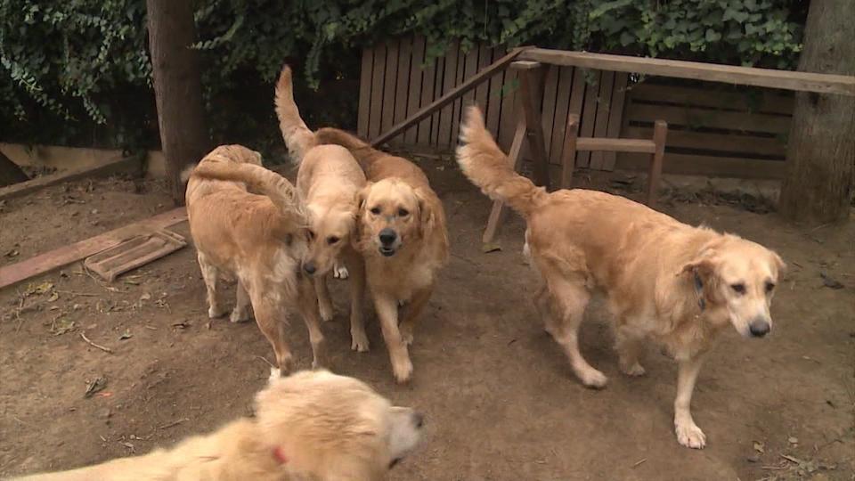'Adopt a Golden Atlanta' busca hogar para los labradores golden retriever en Estados Unidos.