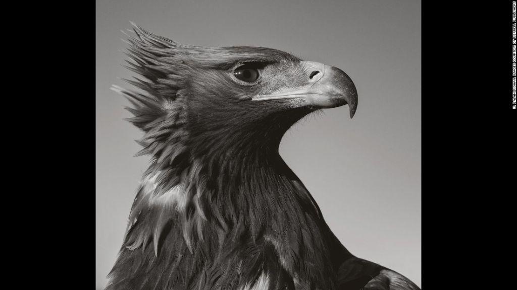 Los cazadores kazajos de Altái utilizan águilas para cazar presas.