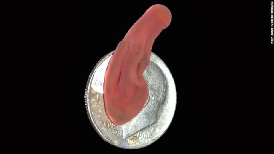 El gusano de aguas profundas, que en esta imagen aparece sobre una moneda de EE.UU. de diez centavos, se encuentra en la parte inferior del árbol evolutivo.