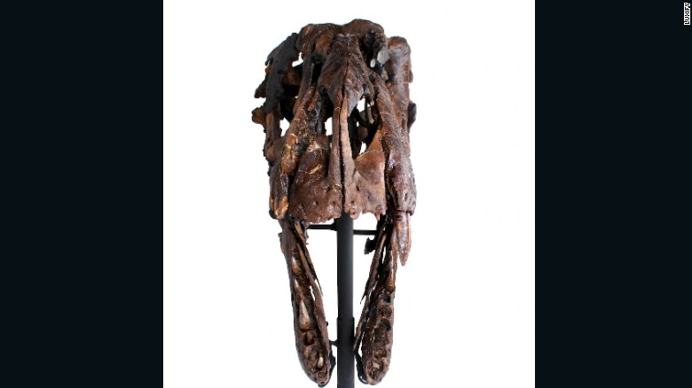 Vista frontal del cráneo de un T-rex.