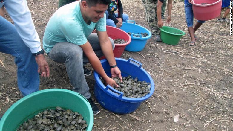 161101091218-05-peru-turtles-released-exlarge-169
