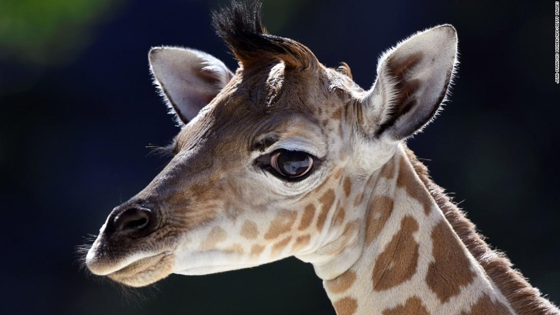 161208105456-01-giraffe-red-list-endangered-super-169