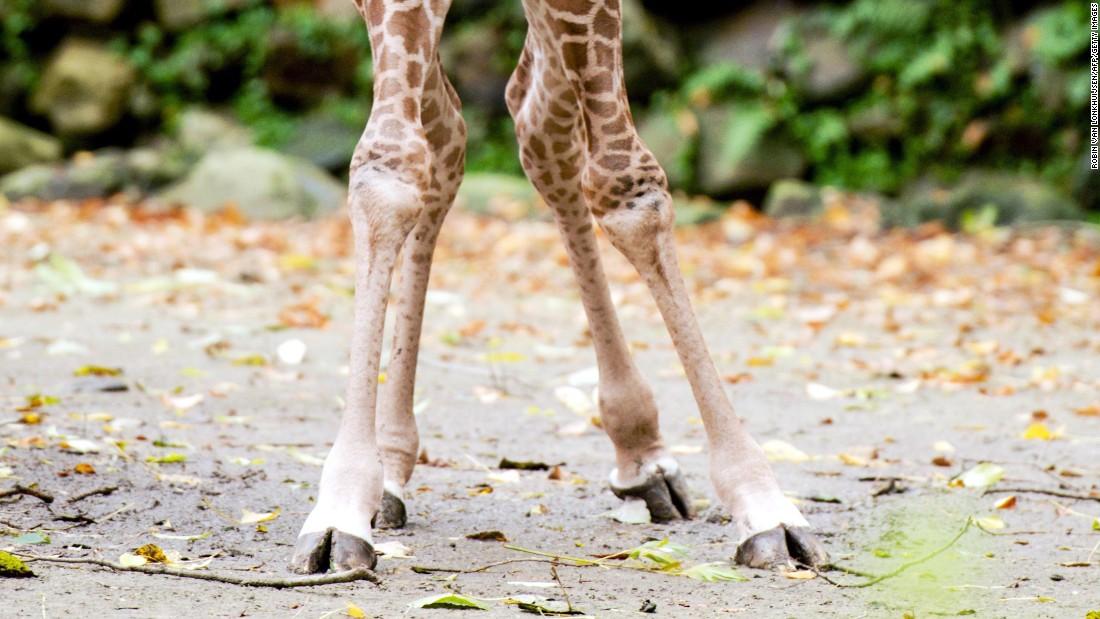 161208114926-giraffe-knees-super-169