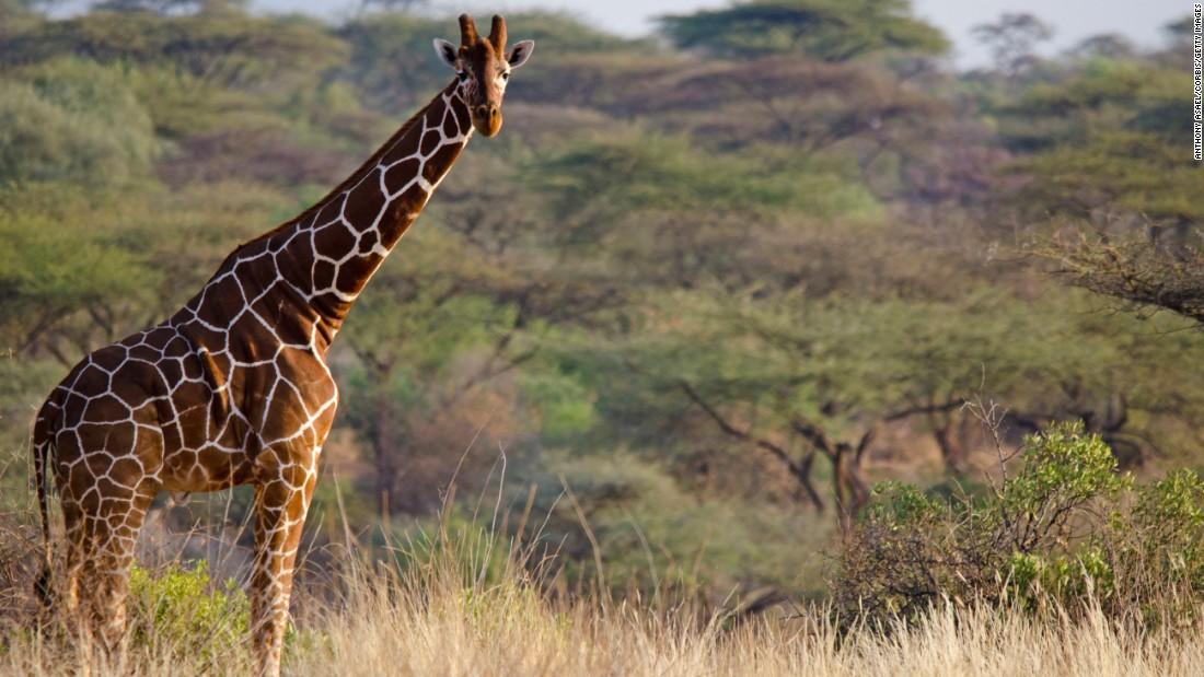 161208120812-lone-giraffe-restricted-super-169