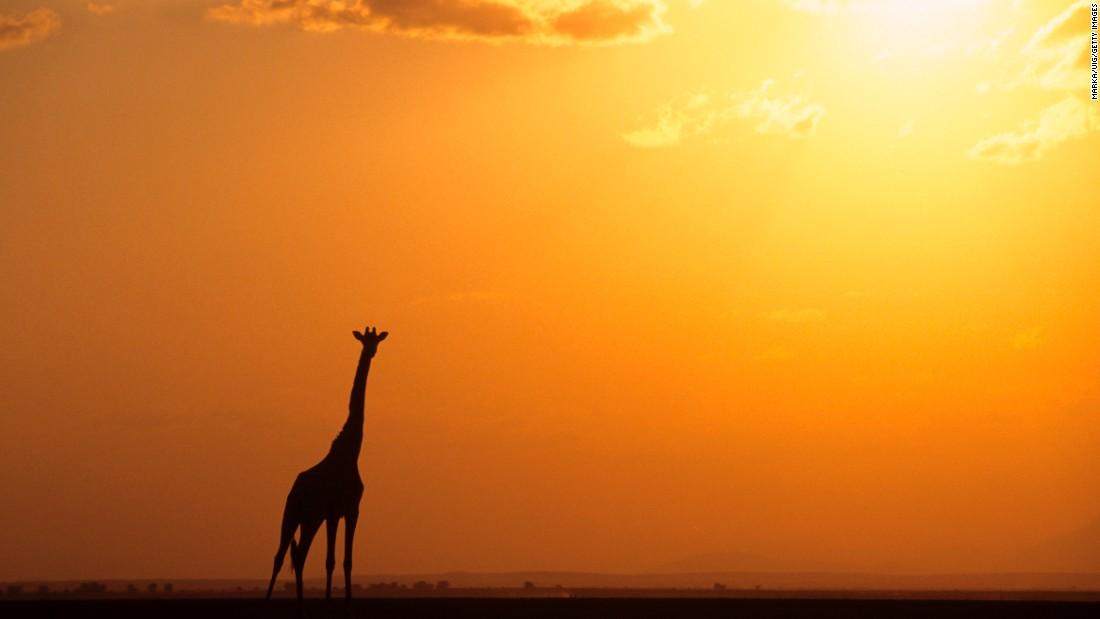 161208124650-giraffe-sunset-restricted-super-169