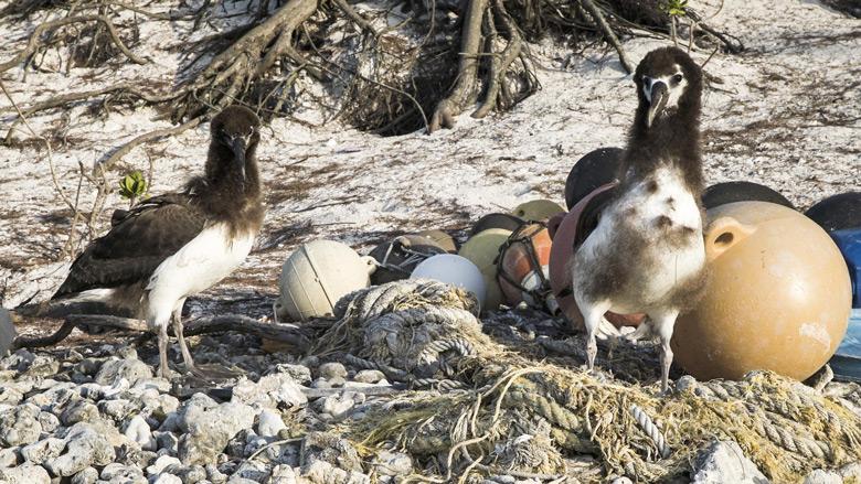 Cuando las aves de las islas Midway, en el Océano Pacífico Norte, mueren y se descomponen, uno se da cuenta que su dieta parece haberse basado en plástico y no en fuentes de comida naturales para esos animales.