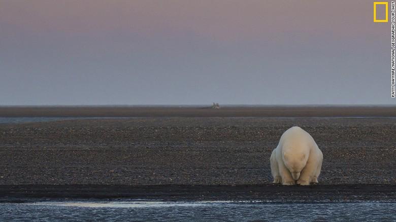 Un oso solitario se sienta cerca a la costa de una de las islas Barther, en Alaska. (Crédito: National Geographic).