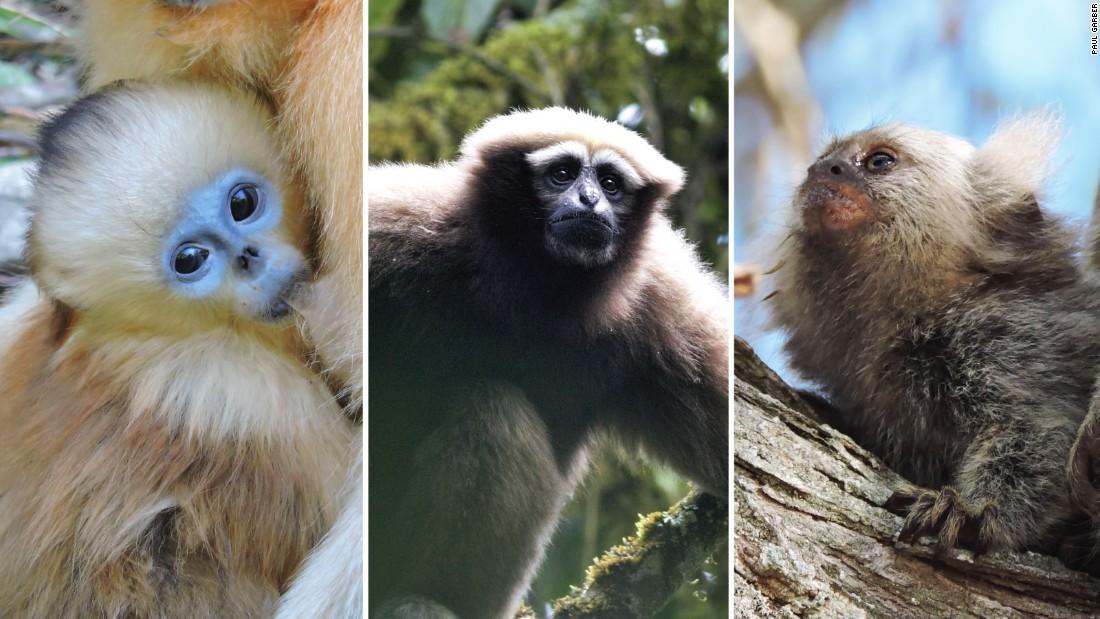 Las especies amenazadas identificadas en el informe incluyen (de izquierda a derecha) al mono dorado de nariz chata, el gibón oriental y al tití.