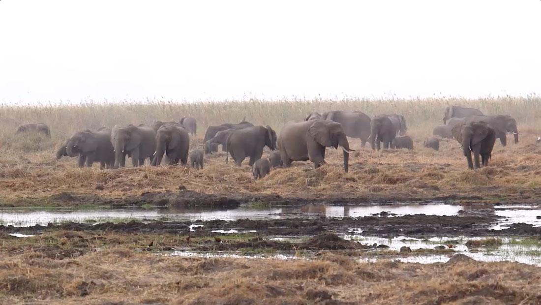 Entre el 2007 y el 2014 la población de elefantes se desplomó un 30%, o unos 144.000 animales. En julio del 2016, la sabana de África albergaba solamente a 352.271 elefantes, según el Gran Censo de Elefantes.