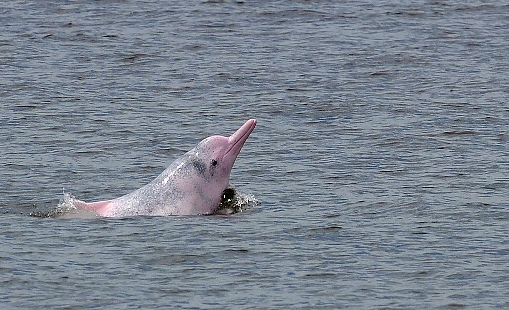 Los delfines rosados -una especie protegida en Colombia- son los cetáceos de agua dulce más grandes del mundo. Son vitales para regular el ecosistema marino.