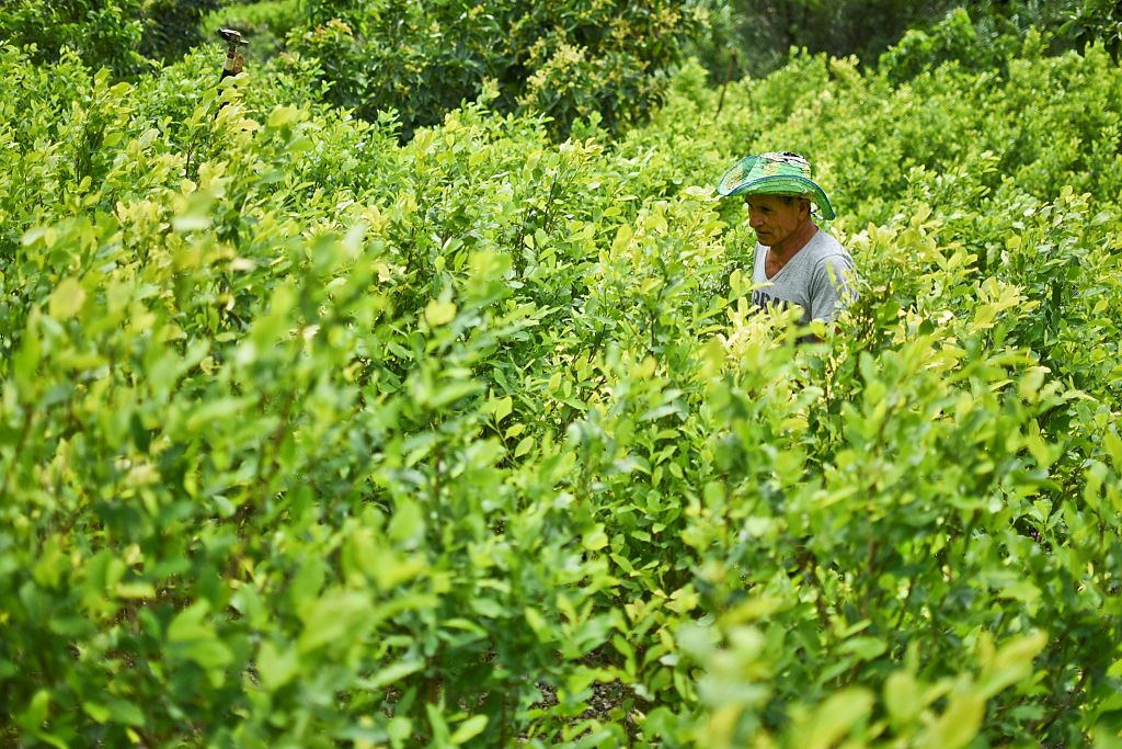 Diositeo Matitui, a 67-year-old coca grower, works in his coca field in a rural area of Policarpa, department of Narino, Colombia, on January 15, 2017. The Colombian government and FARC guerrillas presented Friday an illicit crop substitution plan, established in the peace deal signed in November 2016, which sets a target of eradicating 50,000 hectares of coca in this country, the world's leading producer of cocaine, in 2017. / AFP / LUIS ROBAYO (Photo credit should read LUIS ROBAYO/AFP/Getty Images)