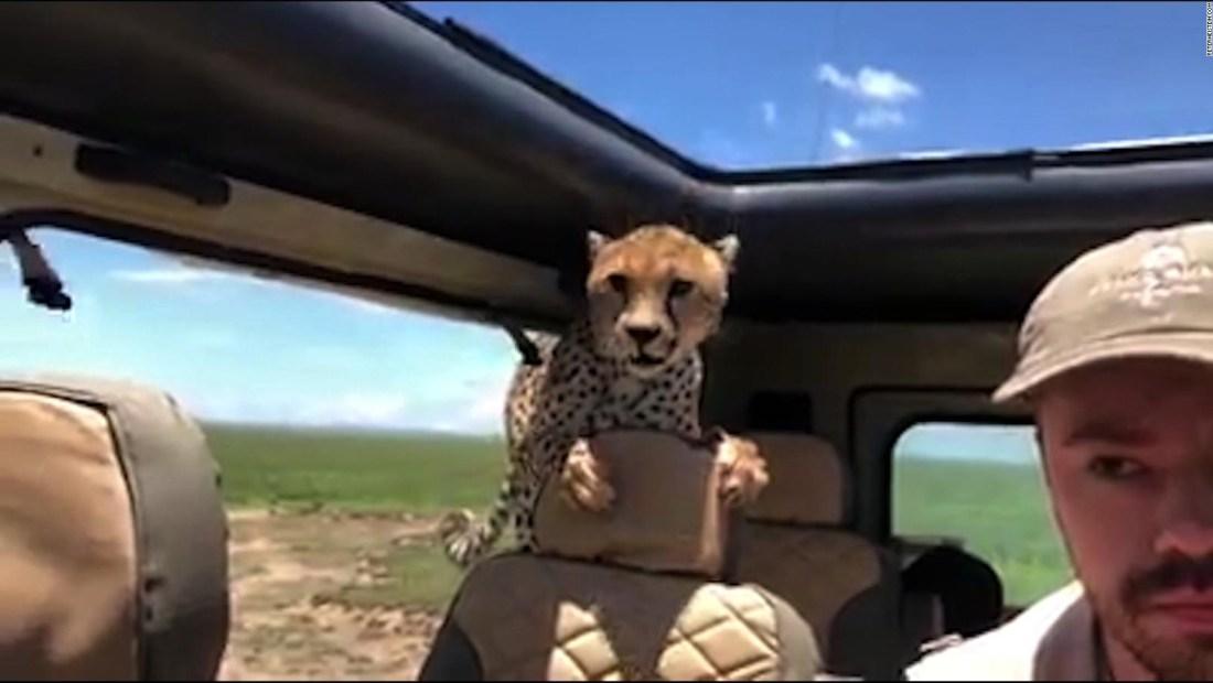 ¿Me llevas? Un guepardo salta al auto de un joven