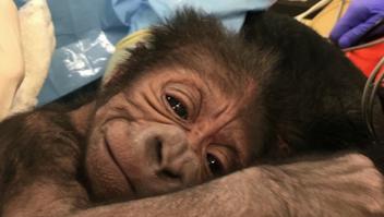 El conmovedor gesto de una gorila con su recién nacido