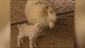 #ElDatoDeHoy: nacen las crías de cabra clonada en China