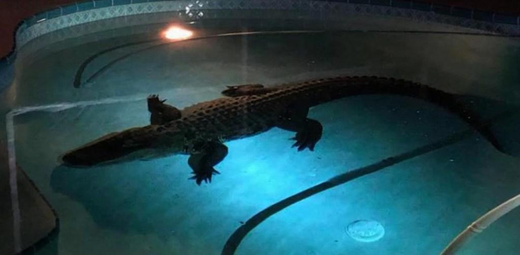 #EstoNoEsNoticia: hallan a cocodrilo nadando en una piscina