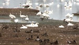 #LaImagenDelDía: migración de cisnes trompeteros