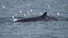 #LaImagenDelDía: nuevas imágenes de ballenas rorcual