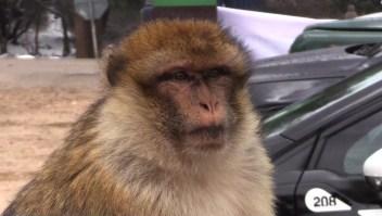 #ElDatoDeHoy: Marruecos busca proteger a macacos