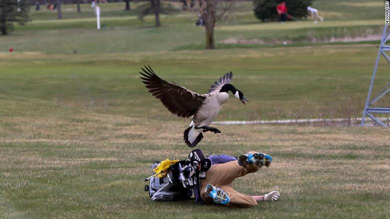 ganso contra jugador de golf en Estados Unidos