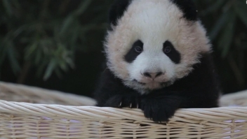 #EstoNoEsNoticia: nombran a dos pandas en China