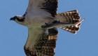 Esta águila pescó un tiburón... y algo más: mira bien