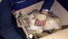 Mira el rescate de este cachorro de león