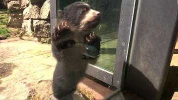 #LaImagenDelDía: la curiosidad de un pequeño oso de 4 meses