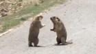 Pelea callejera de marmotas