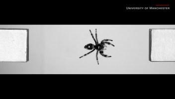 Científicos entrenan a araña para saltar cuando se lo ordenan