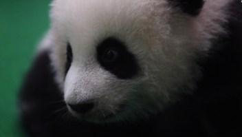 #EstoNoEsNoticia: un pequeño panda es atracción en Malasia