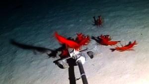#LaImagenDelDía: descubren un pez rata y unos camarones rojos