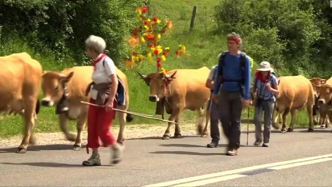#ElDatoDeHoy: Vacas musicales se pasean por Francia