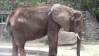 Muere elefanta Ruperta en Venezuela