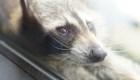 Este mapache que trepó un rascacielos fue rescatado en EE.UU.