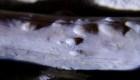 #ElDatoDeHoy: detectan el caso más antiguo de tuberculosis en un reptil