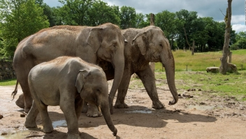 Los elefantes se comunican por vibraciones