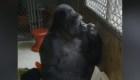 #ElDatoDeHoy: adiós a Koko, la gorila
