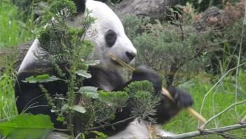 #ElDatoDeHoy: los osos panda más longevos