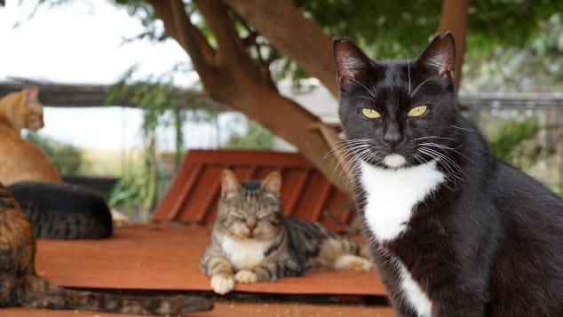 """Tiempo social: más allá de solo alimentar y cuidar a los gatos, los empleados del santuario participan en muchas actividades sociales. """"Vemos a estos gatos salvajes o no socializados que nunca confiaron en los humanos que comienzan a acercarse"""", dijo Vaughn."""