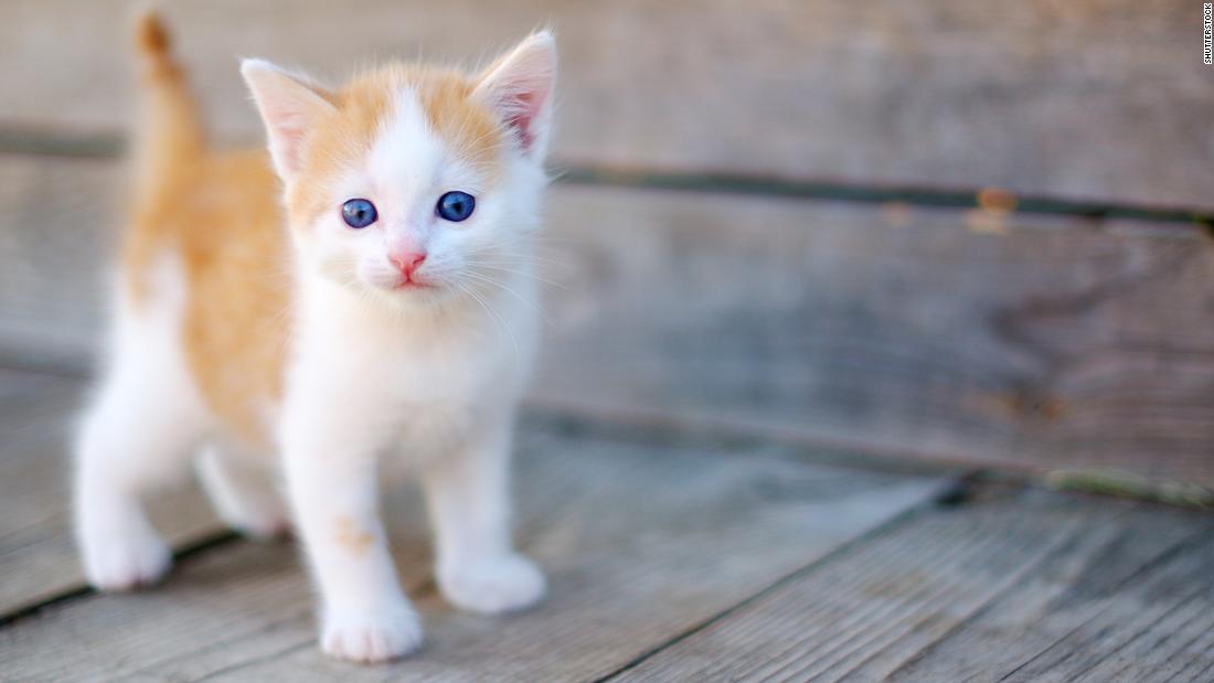 Gato, gatito, mascota
